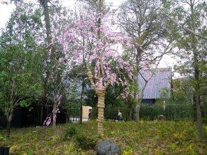 伊勢神宮に仙台シダレザクラを献木
